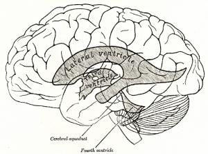 VentriclesDiagram-wikipedia